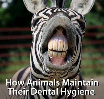 How Animals Maintain Dental Hygiene
