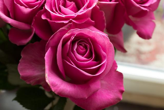 pink-rose-images-hd-download