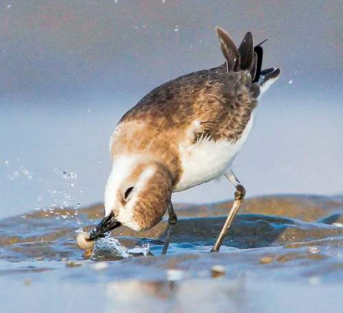 Indian birds - Photo of Greater sand plover - Charadrius leschenaultii