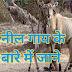 नील गाय,रोजड़ा जानवर कैसी होती है। नीलगाय की रोचक बातें जानेंगे।