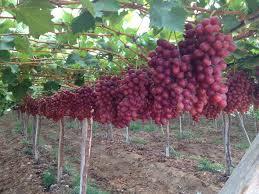 دراسة جدوى فكرة مشروع زراعة العنب فى مصر 2021