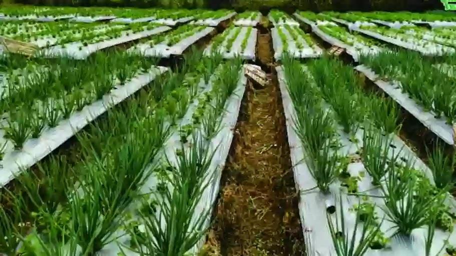 Cara Menanam Bawang Putih Untuk Pemula dari Awal Hingga Siap Panen
