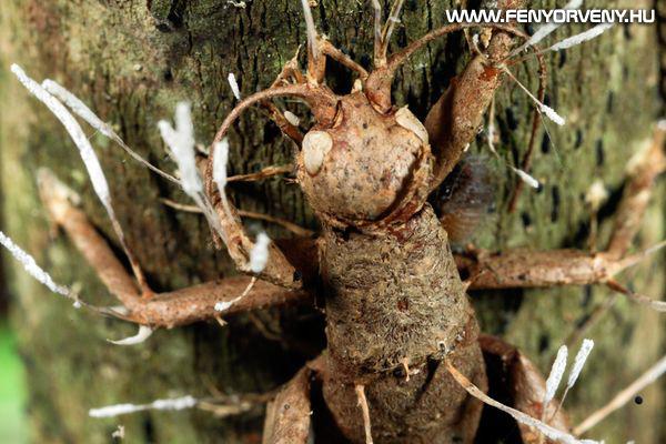 Zombi-hangyák: agyirányító gombát találtak