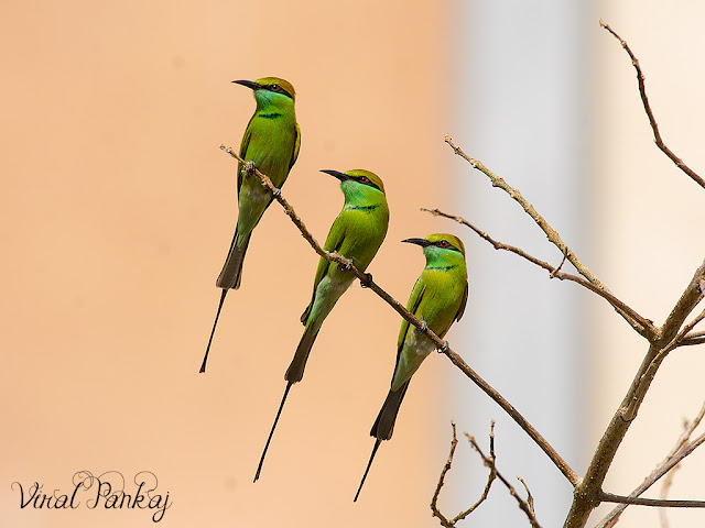 group Green Bee-eater