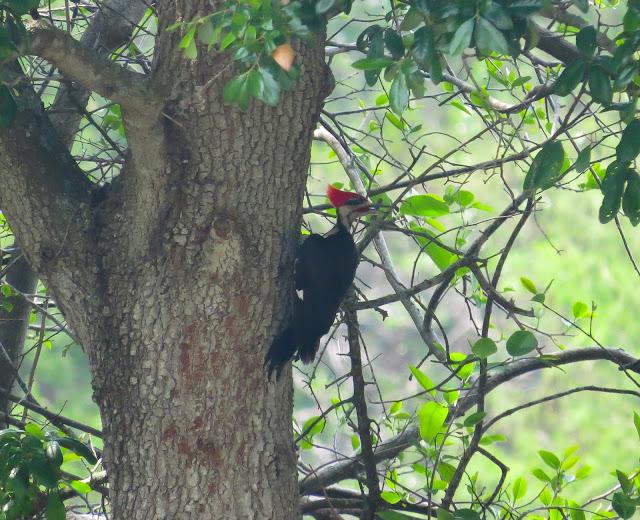 Pileated Woodpecker - Wakodahatchee Wetlands, Florida