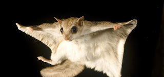 flying squirrel 0