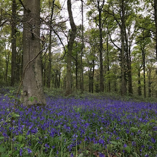 Bluebell woods near Angmering