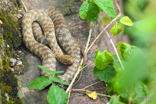 Natrix tessellata - Dice Snake