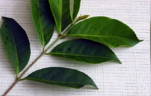 Bagian tanaman yang dapat dijadikan sebagai obat herbal terdapat pada bagian daun, kulit batang dan buahnya.