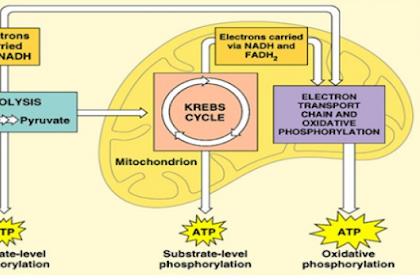 Aerob Adalah - Kamus Biologi Online