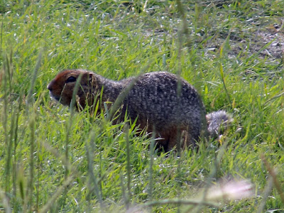 "The Artic Ground Squirrel is Often Refer as the""Parka"" Squirrels"