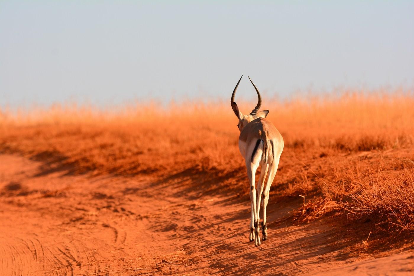 Un Impala (Aepyceros melampus) s'éloigne dans le soir.