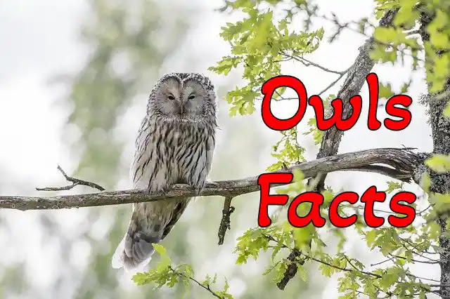 80+ Information & Facts About Owl in Hindi