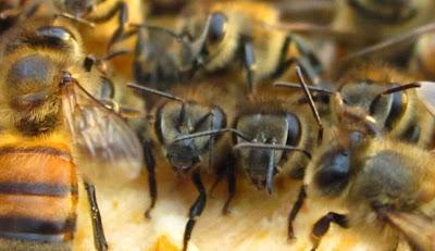 Μήπως οι μέλισσες έχουν συναισθήματα ;