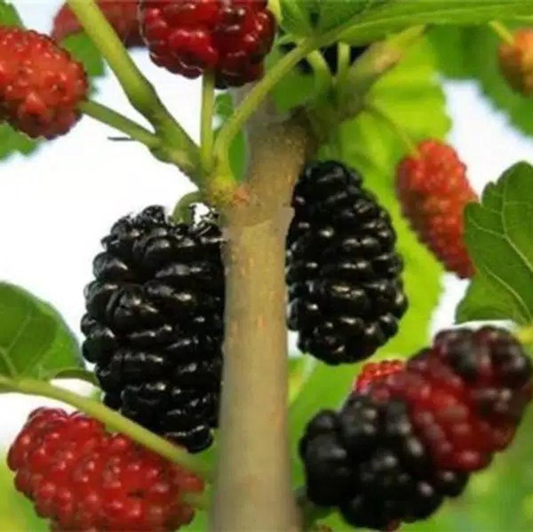 Harga Hemat! Bibit Buah Murbei arbei balckberry Sudah tumbuh dan berbuah Kota Malang #jual bibit buah genjah