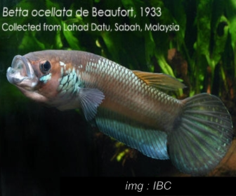 Jenis Ikan Cupang Spesies Betta Ocellata