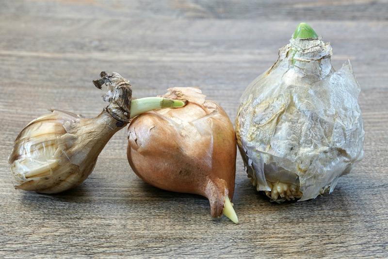 Bulbos que se plantan en otoño