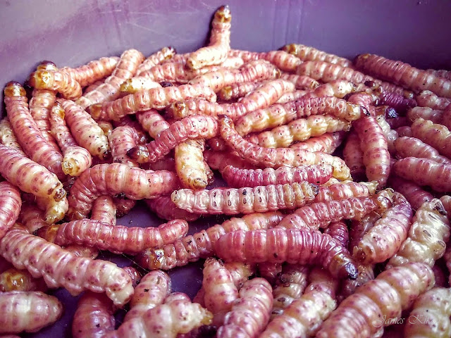 naga-food-nagaland-red-worms