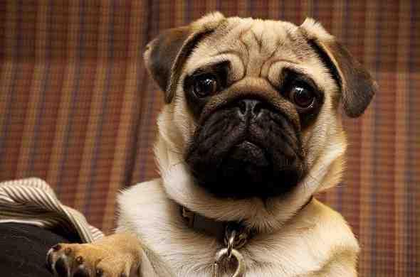 pug-dog-كلب-الباك
