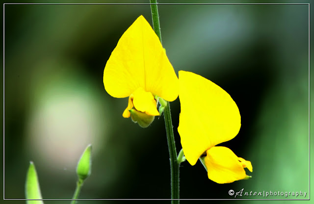 Flower of Jute