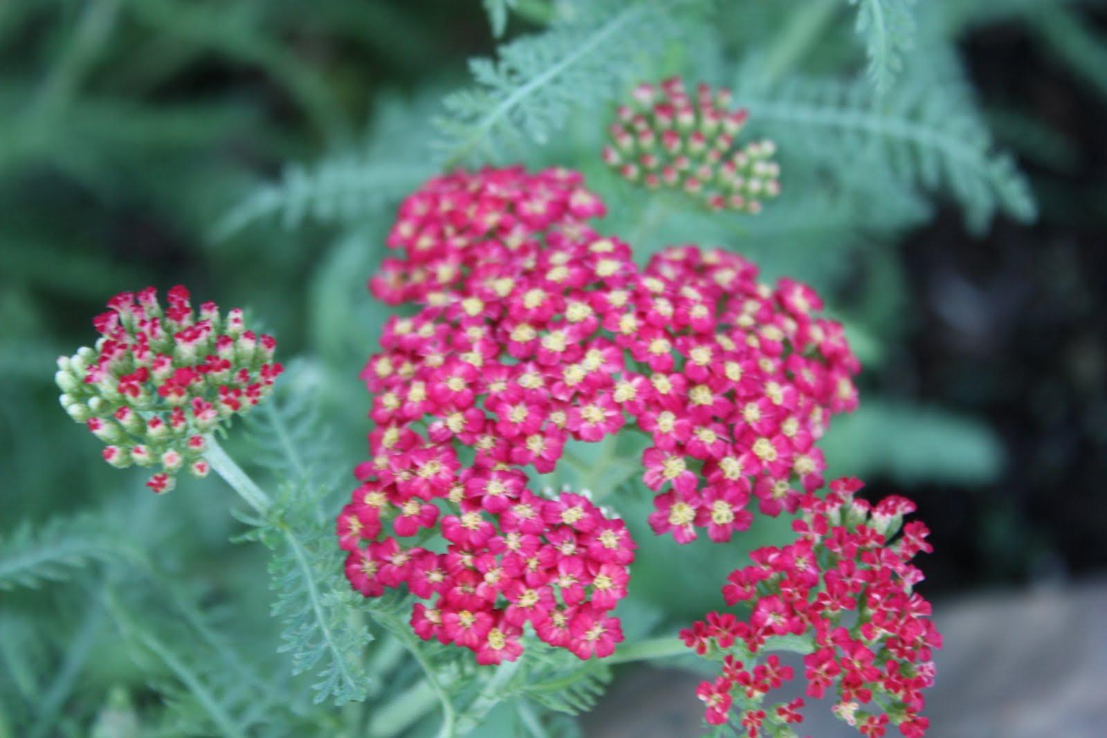 yarrow flower - photo #3