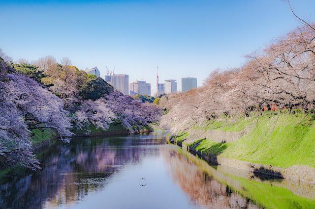 東京,有名,桜,スポット,千鳥ヶ淵,東京タワー