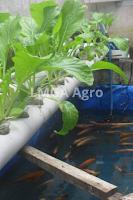 aquaponik, pertanian, budidaya tanaman, hidroponik, lmga agro