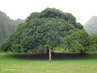 Dome-shaped tree - Ho'omaluhia Botanical Garden, Kaneohe, HI