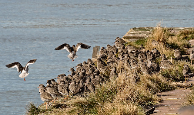Photo of sandpipers watching the tide come into Maryport basin