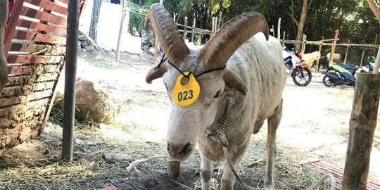 Domba Unik Ini Dijual Rp12 Juta, Punya 4 Tanduk dan Ada Lafaz Allah