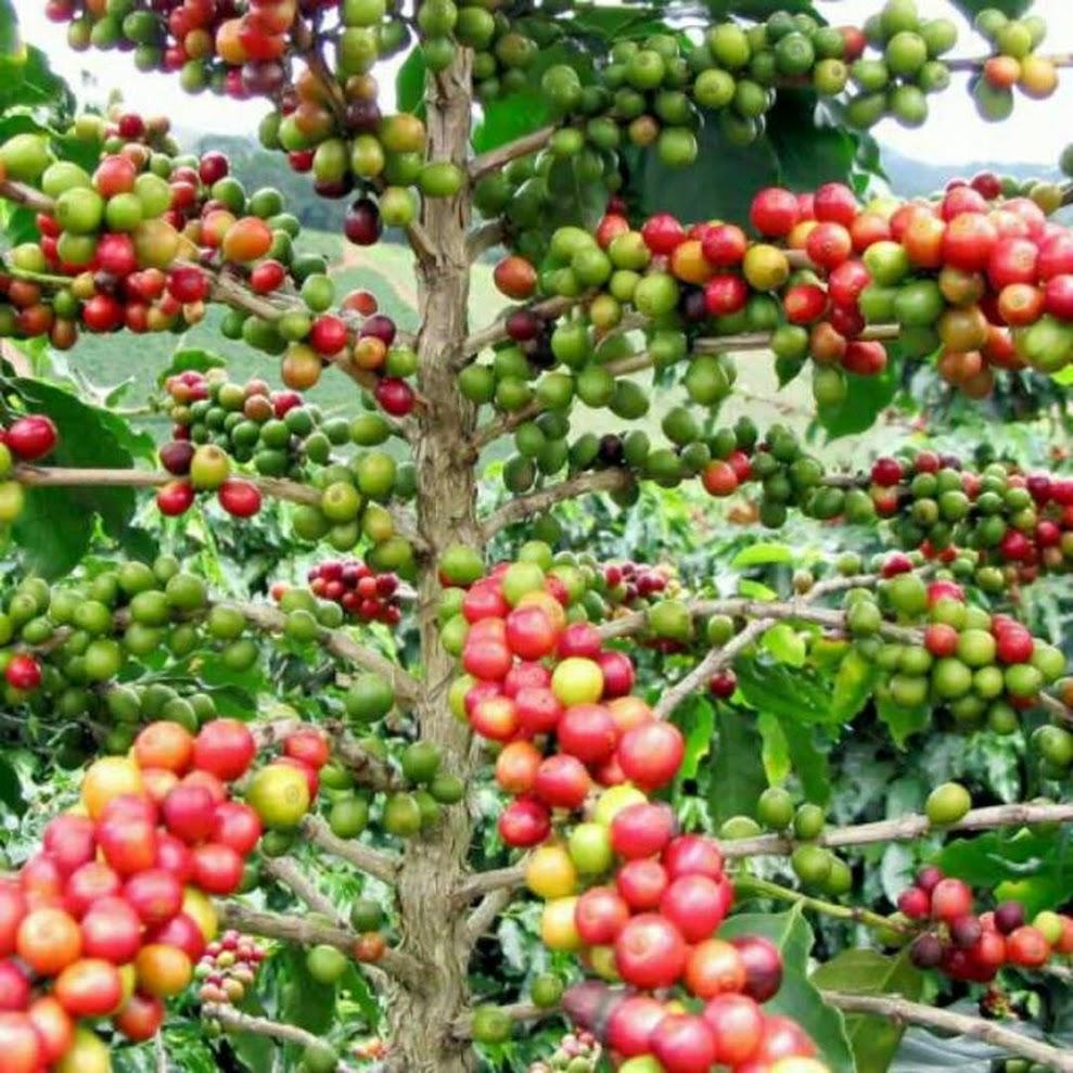 Bibit tanaman kopi arabika Sumatra Barat