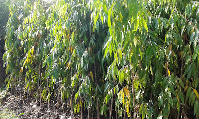 Pohon Pelindung Glodogan Tiang