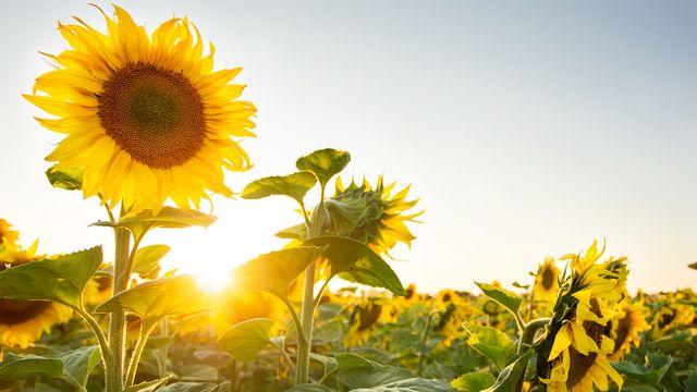 Mengulas-Tentang-5-Jenis-Bunga-Matahari-dan-Manfaatnya