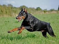 raza de perros grandes doberman