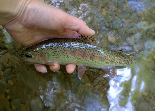 Rainbow Trout from Palmer Creek in Cataloochee Valley