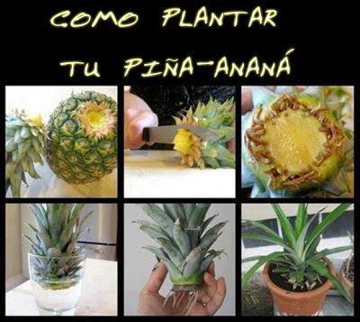 como plantar piña anana