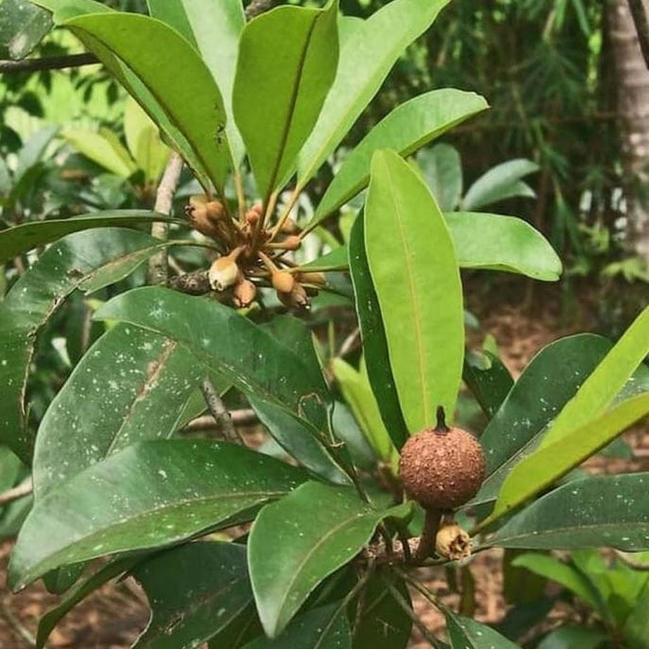 Bibit Pohon Sawo Manila Buah Sawo Tanaman Sawo Manila Cepat Berbuah Balikpapan