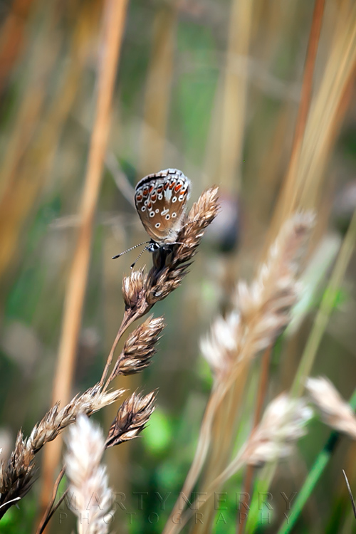Close up image of a beautifully patterned female common blue butterfly