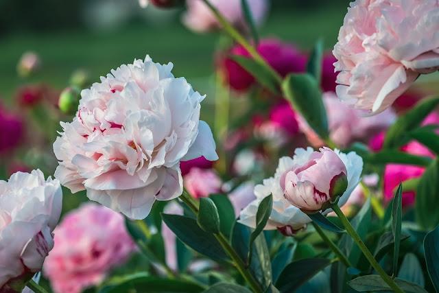Image of Pink Peonies