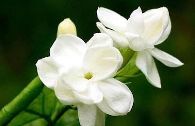cara menanam bunga melati,ciri-ciri bunga melati,klasifikasi bunga melati,budidaya bunga melati,nama latin bunga melati,bunga melati putih,melati klasifikasi lebih rendah,deskripsi bunga melati,