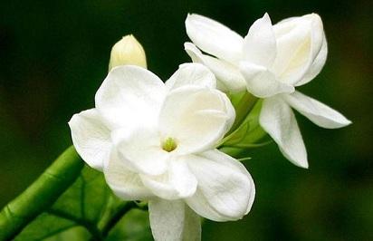 Mengenal Bunga Melati dan Manfaatnya