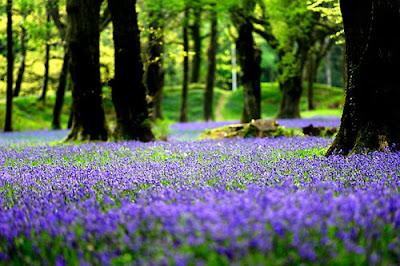 ý nghĩa hoa chuông xanh 2