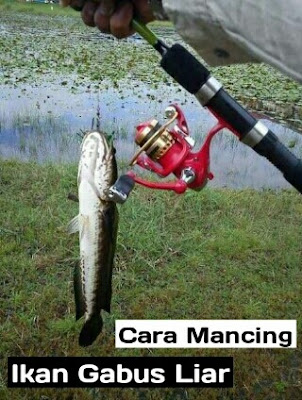 umpan ikan gabus liar