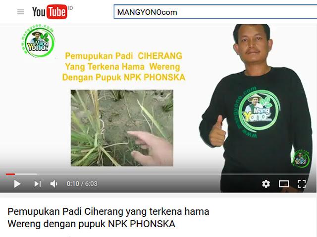 Pemupukan Padi Ciherang yang terkena hama dengan pupuk NPK Phonska