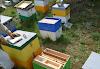 Πολλαπλασιαμός των μελισσιών με παραφυάδες: Νέα επαναστατική μέθοδος χωρίς μεταφορές!!!