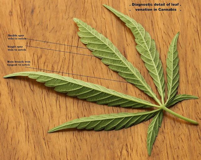 Lá Gai Dầu - Cannabis sativa - Nguyên liệu làm thuốc Có Chất Độc