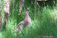 Erckel's francolin, Bird Park trail, Big Island - © Denise Motard
