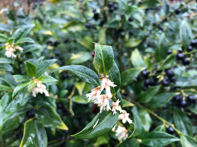 Sarcococca with white flowers and deep blue berries