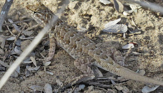 Uta stansburiana, Side-blotched Lizard