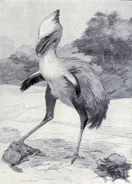 A drawing of the terror bird Phorusrhacos by Charles R. Knight published in Animals of the Past, 1901.